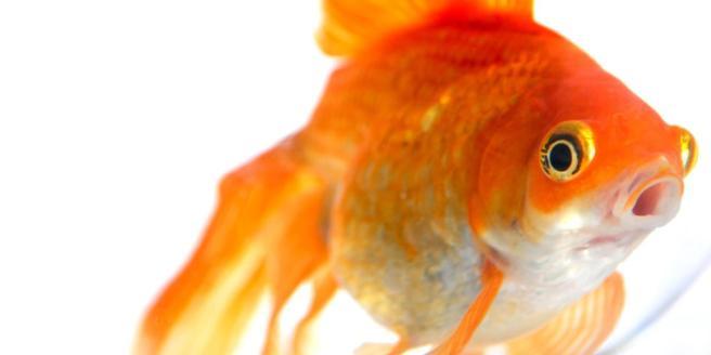 Goldfish .